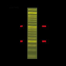 DM1100 ExcelBand 50 bp DNA Ladder